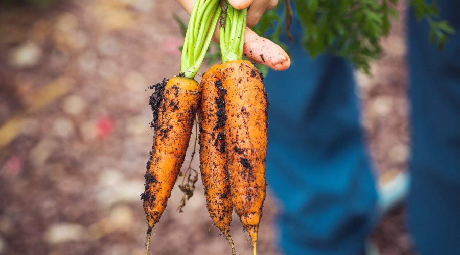 three carrots pulled from the ground in a farmer's hadn